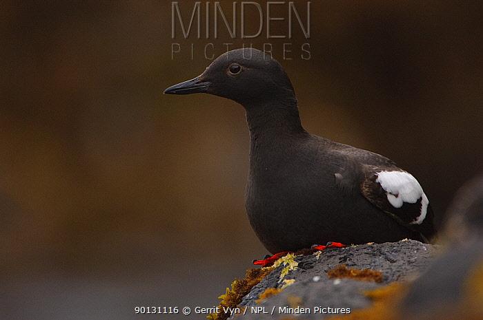 Pigeon Guillemot (Cepphus columba) sitting on exposed rocks, within the intertidal zone St Lazaria Island, Alaska, USA, June  -  Gerrit Vyn/ npl