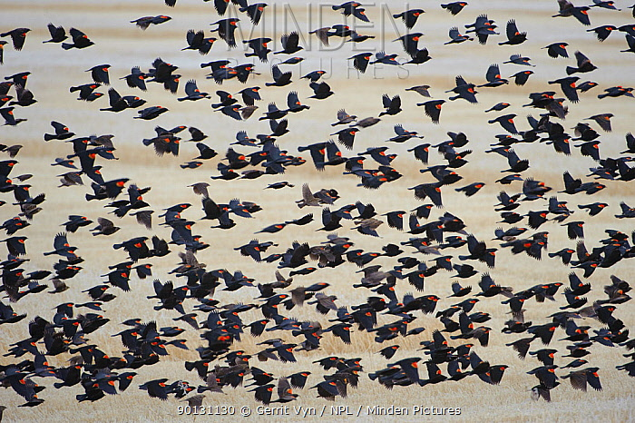 Winter flock of Red-winged Blackbirds (Agelaius phoeniceus) flying low over fields Lower Klamath National Wildlife Refuge, Siskiyou County, California, USA, December  -  Gerrit Vyn/ npl