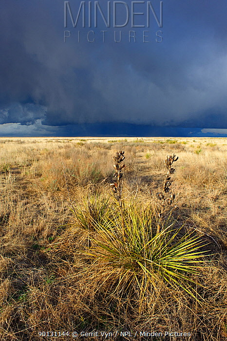 Sand sagebrush (Artemisia filifolia) Prairie yucca (Yucca) and approaching thunderstorm This is the habitat of the Lesser Prairie-Chicken (Tympanuchus pallidicintus) Cimarron National Grassland, Kansas, USA, April 2010  -  Gerrit Vyn/ npl