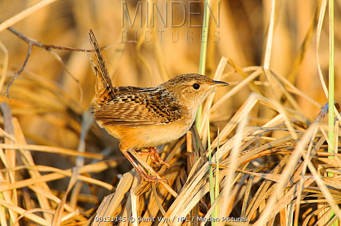 Sedge Wren (Cistothorus platensis) camouflaged and perched on dry foliage, Alberta, Canada May  -  Gerrit Vyn/ npl