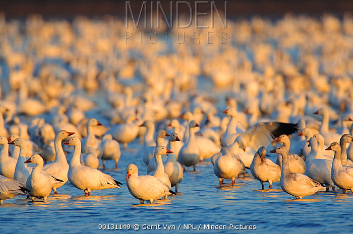 Flock of Greater Snow Geese (Chen, Anser caerulescens) roosting in a flooded agricultural field during migration Montezuma NWR, New York, USA, March  -  Gerrit Vyn/ npl