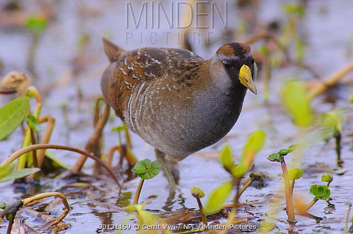 Sora Rail (Porzana carolina) in breeding plumage foraging in a marsh Anahuac National Wildlife Refuge, Texas, USA, March  -  Gerrit Vyn/ npl