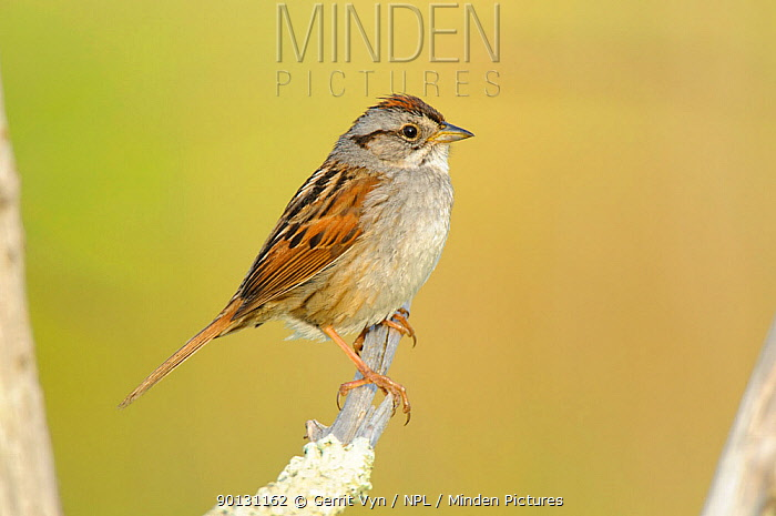 Swamp Sparrow (Melospiza georgiana) portrait, perched on branch, Tompkins County, New York, USA, May  -  Gerrit Vyn/ npl