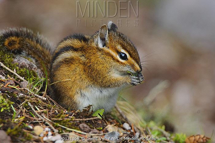 Townsend's Chipmunk (Tamias townsendii) foraging in woodland, in spring Pierce County, Rainer NP, Washington, USA, May  -  Gerrit Vyn/ npl