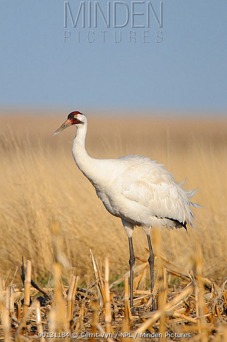 Whooping Crane (Grus americana) from a wild population foraging in a corn field during spring migration Central South Dakota, USA, April  -  Gerrit Vyn/ npl