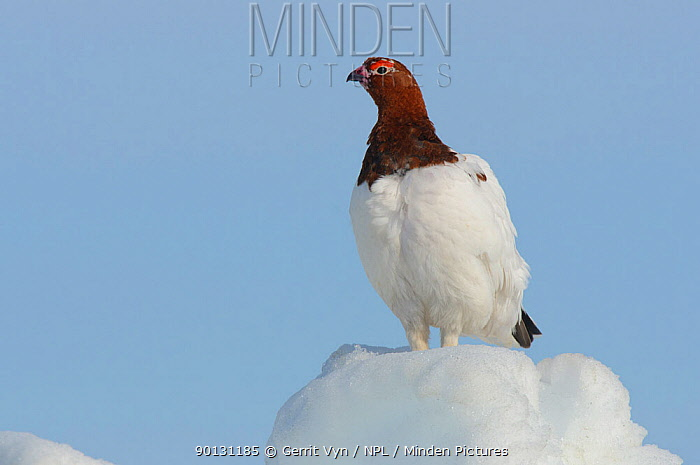 Willow Ptarmigan (Lagopus lagopus) male standing on snow covered ground, in spring Males retain the white body plumage of winter plumage and molt the head and neck feathers to the russet brown summer plumage during the spring courtship period Seward Peninsula, Alaska, USA, May  -  Gerrit Vyn/ npl