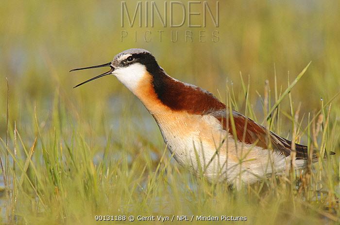 Wilson's Phalarope (Phalaropus tricolor) female in breeding plumage calling Southeast Alberta, Canada May  -  Gerrit Vyn/ npl