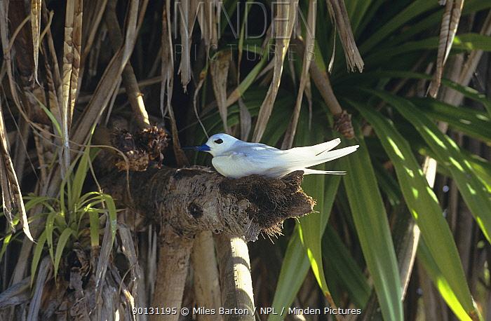 White, Fairy tern (Gygis alba) incubating egg in Pandanas palm tree, Cousin Island, Seychelles  -  Miles Barton/ npl