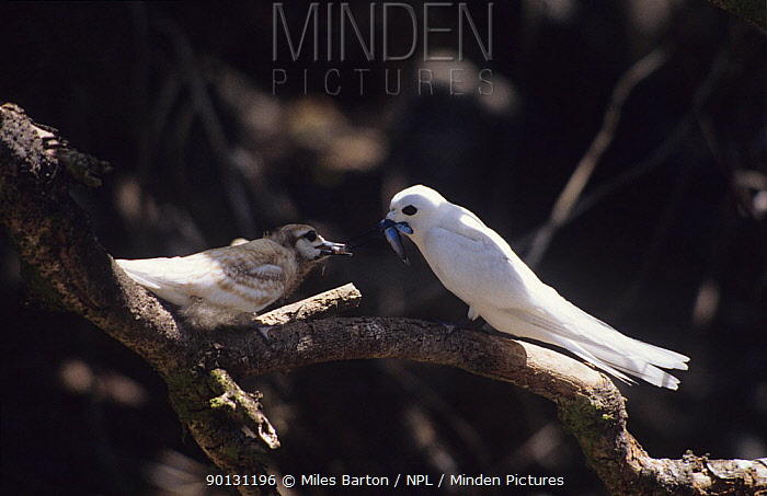 White, Fairy tern (Gygis alba) feeding chick, Cousin Island, Seychelles  -  Miles Barton/ npl