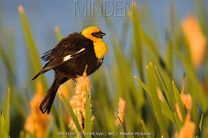 Yellow-headed Blackbird (Xanthocephalus xanthocephalus) male in breeding plumage, perched on cattails in wetlands, Alberta, Canada June  -  Gerrit Vyn/ npl