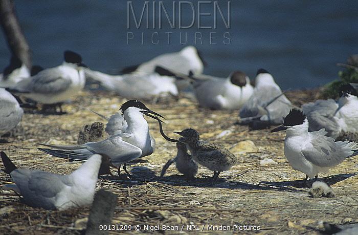 Sandwich tern (Thalasseus sandvicensis) adult in breeding colony feeding sandeel to chick, Brownsea Is, Dorset, UK  -  Nigel Bean/ npl
