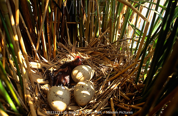 Moorhen (Gallinula chloropus) nest amongst reeds with chick hatching from egg, France  -  Jean E. Roche/ npl