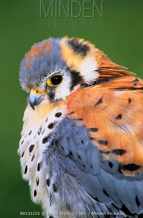 American kestrel (Falco sparverius) male, captive, California, USA  -  David Welling/ npl
