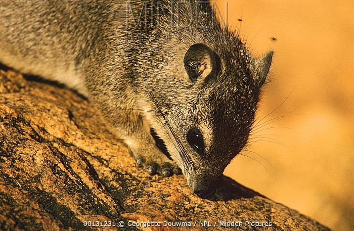 Small toothed rock hyrax (Heterohyrax brucei) Tsavo NP, Kenya  -  Georgette Douwma/ npl