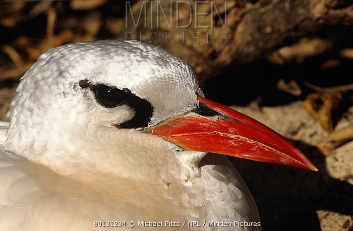 Red tailed tropic bird (Phaethon rubricauda) portrait, Midway Atoll, Pacific  -  Michael Pitts/ npl
