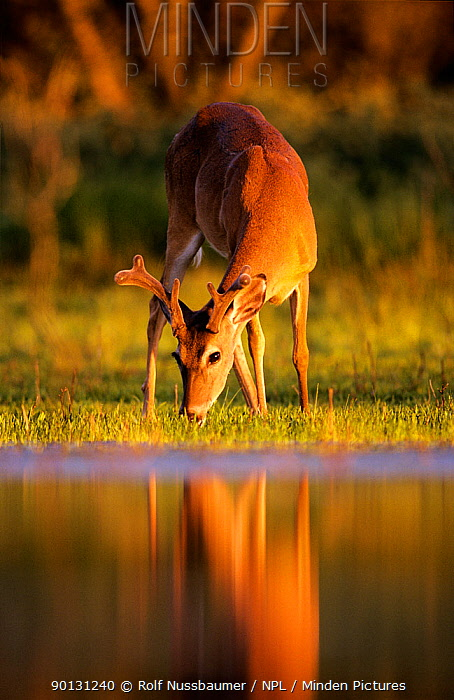 White tailed deer (Odocoileus virginianus) young male grazing beside water at sunset, Texas, USA  -  Rolf Nussbaumer/ npl