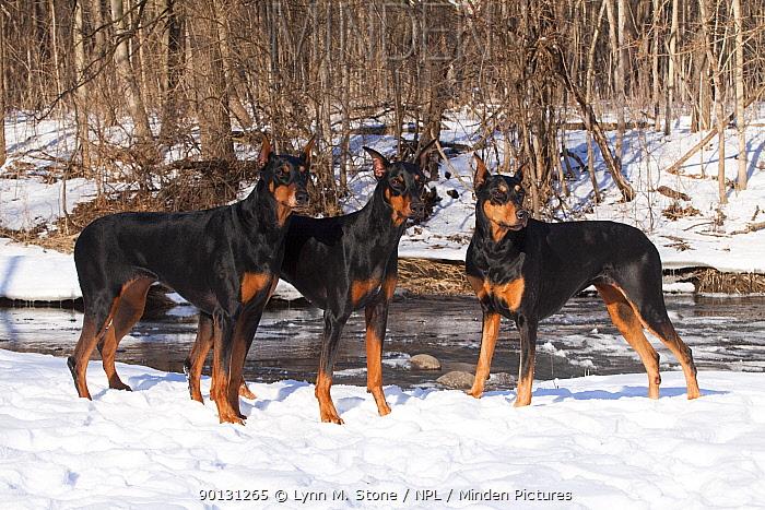 Three Doberman Pinschers (black females with cropped ears) standing in snow by stream, Saint Charles, USA  -  Lynn M. Stone/ npl