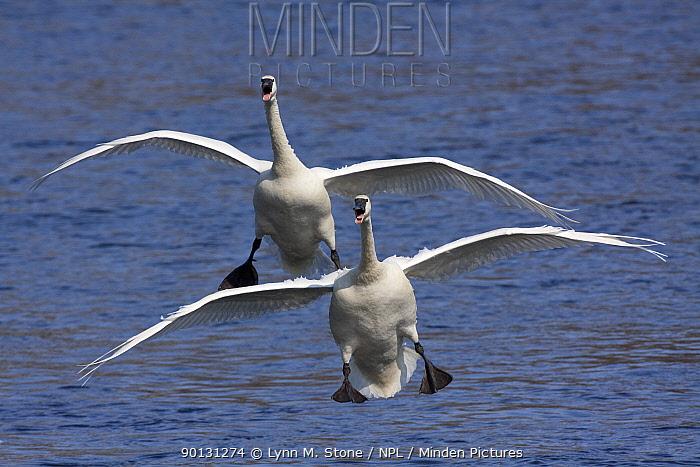 Two Trumpeter Swans (Cygnus buccinator) landing on the Mississippi River, Minnesota, USA  -  Lynn M. Stone/ npl