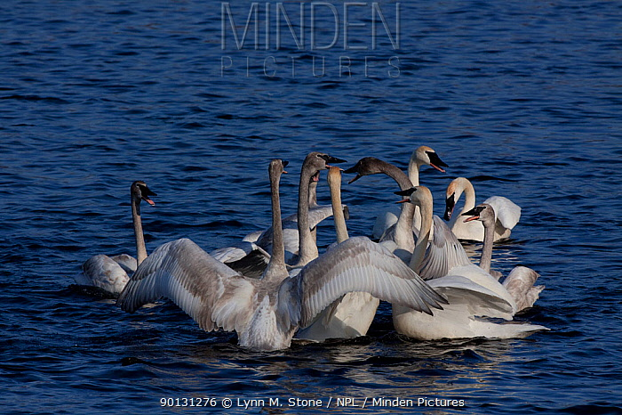 Trumpeter swan (Cygus buccinator) family groups (probably two) in display huddle preparatory to breeding season Wintering on Mississippi River, Minnesota, USA  -  Lynn M. Stone/ npl