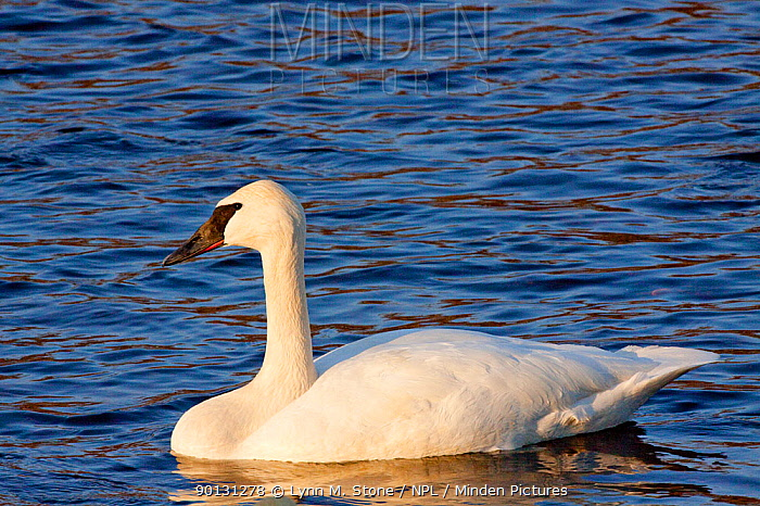 Trumpeter Swan (Cygnus buccinator) portrait, swimming in late afternoon sun, while wintering on Mississippi River, Minnesota, USA  -  Lynn M. Stone/ npl