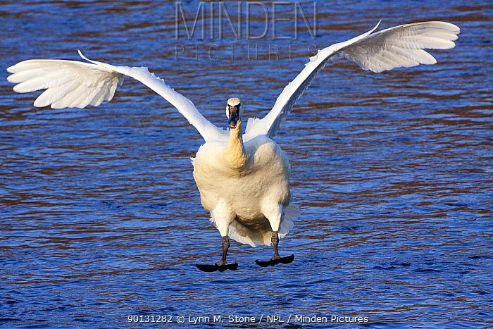 Trumpeter Swan (Cygnus buccinator) landing on the Mississippi River, Minnesota, USA  -  Lynn M. Stone/ npl