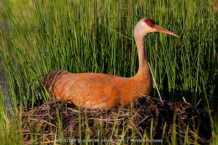 Greater Sandhill Crane (Grus canadensis tabida) incubating two eggs on mounded nest of reeds in wetland, southern Wisconsin, USA  -  Lynn M. Stone/ npl