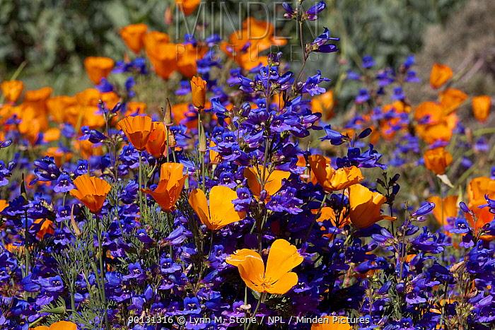 Blue Penstemon (Penstemon sp) flowering with California Poppies (Eschscholzia californica); Southern California, USA  -  Lynn M. Stone/ npl