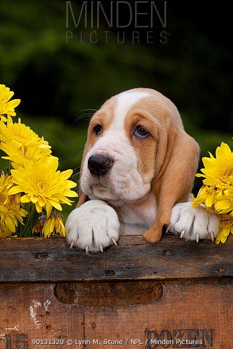 Basset puppy head portrait with yellow Chrysanthemums in antique wooden box  -  Lynn M. Stone/ npl