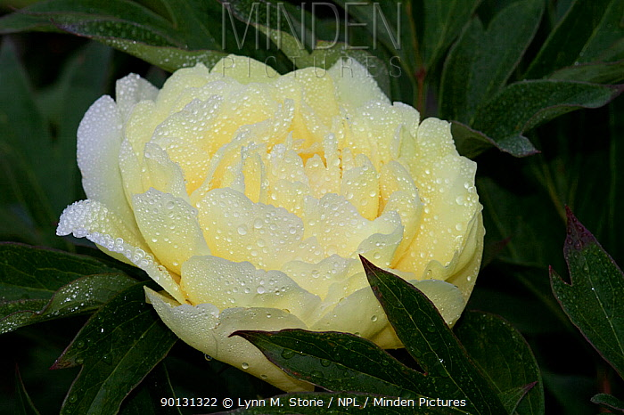 Yellow Peony (Paeonia sp) cultivar flowering in late afternoon; East Haddam, Connecticut, USA  -  Lynn M. Stone/ npl