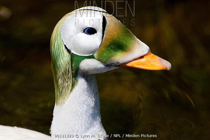 Spectacled Eider duck (Somateria fischeri) head portrait of male in breeding plumage; captive; R: Northwestern North America  -  Lynn M. Stone/ npl