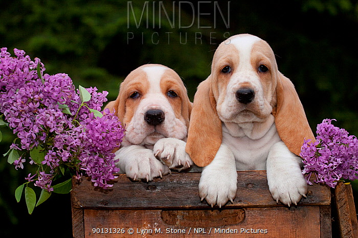 Two Basset Hound puppies with purple flowers in antique wooden box; Marengo, Illinois, USA  -  Lynn M. Stone/ npl
