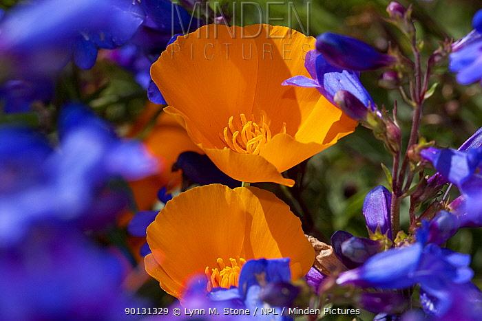 Penstemon (Penstemon species) flowering with California Poppies (Eschscholtzia californica); Southern California, USA  -  Lynn M. Stone/ npl