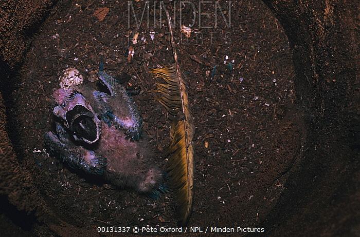 Blue and yellow macaw (Ara ararauna) chick in nest, South Piaui State, Brazil, South America  -  Pete Oxford/ npl