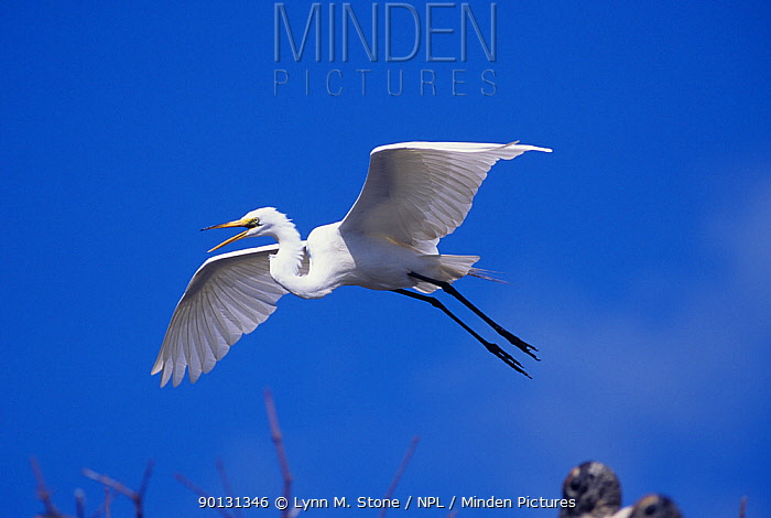 Snowy egret (Egretta thula) in flight, Florida, USA  -  Lynn M. Stone/ npl