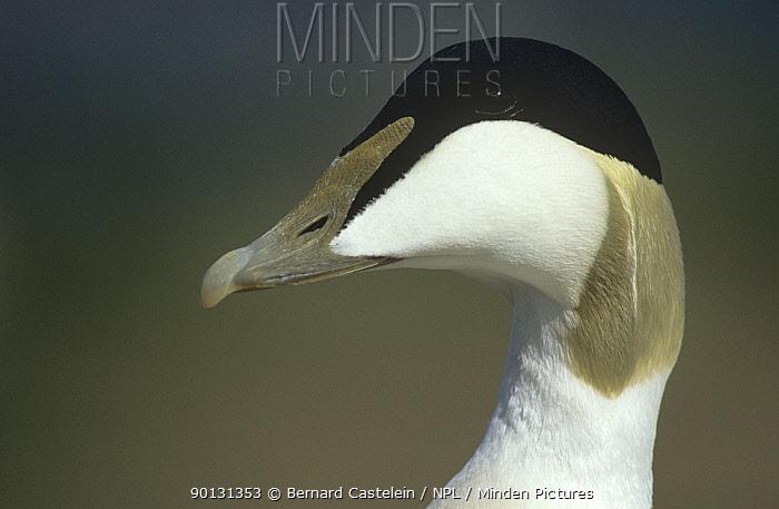 Eider duck (Somateria mollissima) male portrait, Farne Island, Northumberland, UK  -  Bernard Castelein/ npl