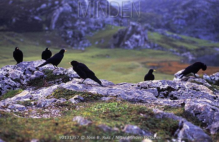 Flock of Alpine chough (Pyrrhocorax graculus) in landscape, Covadonga NP, Picos de Europa, Spain  -  Jose B. Ruiz/ npl