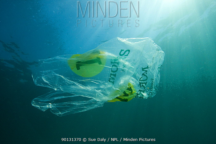 Plastic bag floating in the sea, resembling a jellyfish swimming Dangerous to sea turtles  -  Sue Daly/ npl