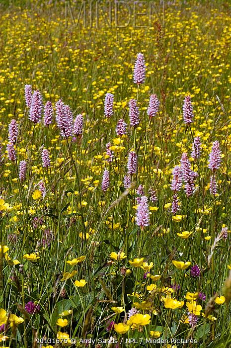 Common Bistort (Polygonum bistorta) growing with Buttercups (Ranunculus) in Hay meadow, Upper Teesdale, Co Durham, UK  -  Andy Sands/ npl