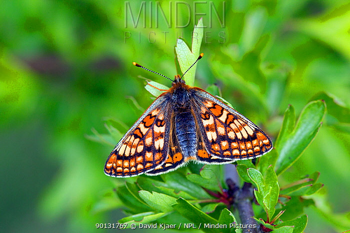 Marsh Fritillary butterfly (Euphydryas aurinia) at rest on leaf, with wings open, Wiltshire, England, UK  -  David Kjaer/ npl