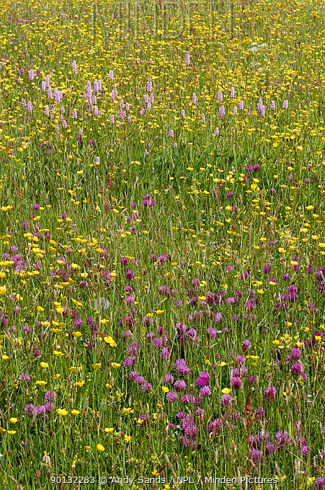 Red Clover (Trifolium pratense) and Common Bistort (Persicaria, Polygonum bistorta) growing with Buttercups in hay meadow, Upper Teesdale, Co Durham, UK, April 2009  -  Andy Sands/ npl