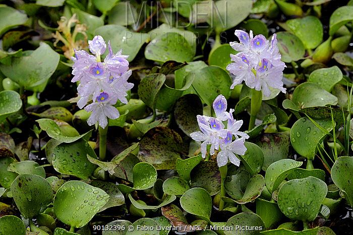 Water Hyacinth (Eichhornia crassipes) in flower, Willawilla lake, Sri Lanka  -  Fabio Liverani/ npl