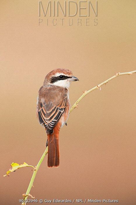 Isabelline Shrike (Lanius isabellinus) portrait, perched on branch, Serengeti National Park, Tanzania, Africa, February  -  Guy Edwardes/ npl