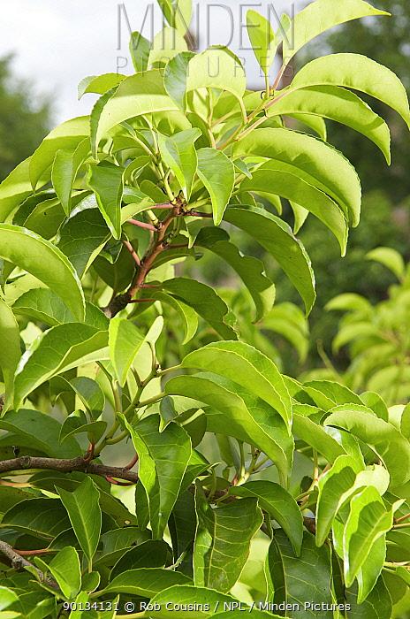 Portuguese Laurel (Prunus lusitanica azorica) leaves  -  Rob Cousins/ npl