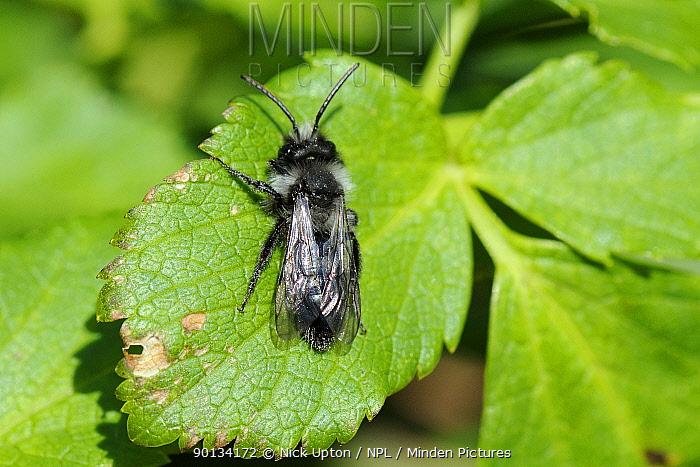 Grey Mining Bee (Andrena cineraria) sun basking on leaf Cornwall, UK, April  -  Nick Upton/ npl