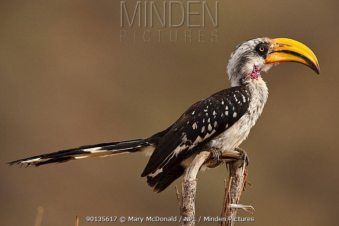 Yellow-billed Hornbill (Tockus flavirostris) perched in tree, Samburu Game Reserve, Kenya  -  Mary Mcdonald/ npl