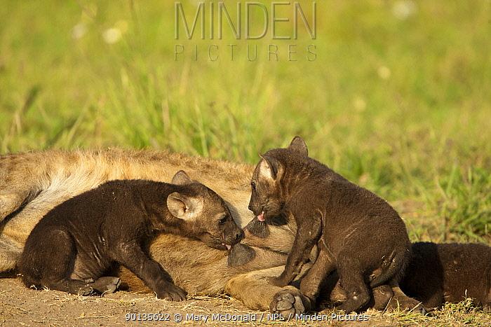Spotted, Laughing Hyena (Crocuta crocuta) female nursing pups, Upper Mara, Masai Mara Game Reserve, Kenya  -  Mary Mcdonald/ npl