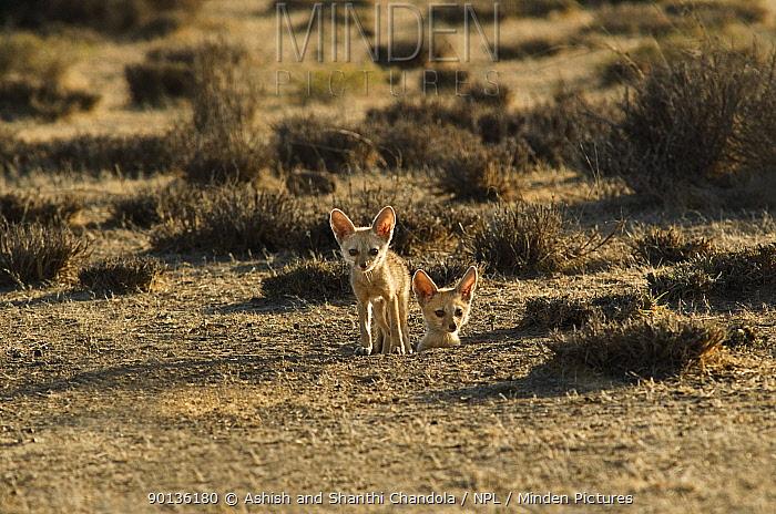 Indian, Bengal fox pups (Vulpes bengalensis) two cubs at den, Kutch, Gujarat, India, April  -  Ashish & Shanthi Chandola/ npl