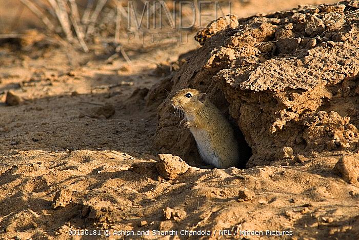 Indian desert jird, gerbil (Meriones hurrianae) at burrow entrance, Kutch, Gujarat, India, April  -  Ashish & Shanthi Chandola/ npl