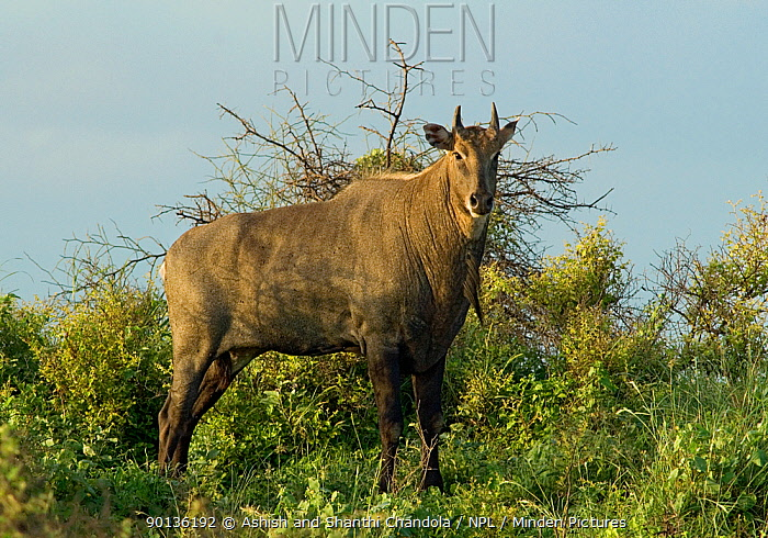 Nilgai (Boselaphus tragocamelus) bull, Blackbuck National Park, Velavadar, Gujarat, India, January  -  Ashish & Shanthi Chandola/ npl