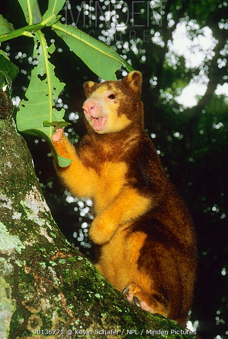 Minden pictures stock photos matschies huon tree kangaroo matschies huon tree kangaroo dendrolagus matschiei feeding in tree papua new guinea sciox Images